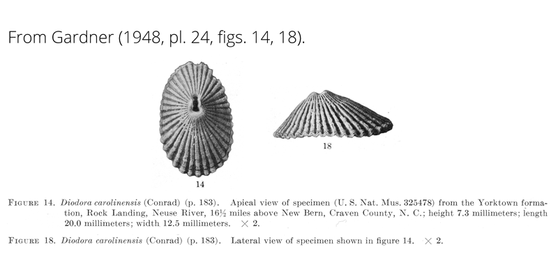 <i>Diodora carolinensis</i> from Gardner (1948), pl. 24, figs. 14, 18. USNM 325478. Yorktown Formation, Craven County, North Carolina.