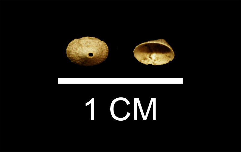 Diodora nucula from the Late Pliocene Duplin Fm. of Wayne County, Georgia (SDSM 112179).