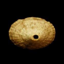 Diodora nucula