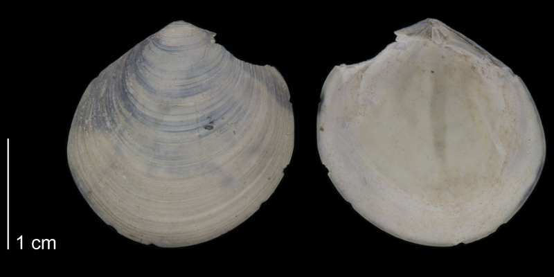 <i>Diplodonta acclinis</i> from the Early Pleistocene James City Fm. of Beaufort County, North Carolina (PRI 70521).
