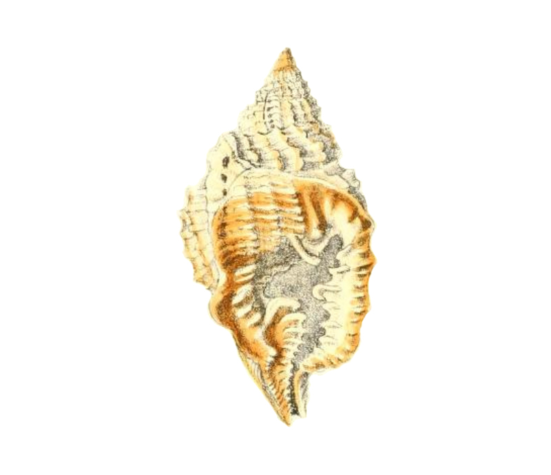 Specimen of <i>Distorsio clathrata</i> figured by Reeve (1843, pl. 12, fig. 46).