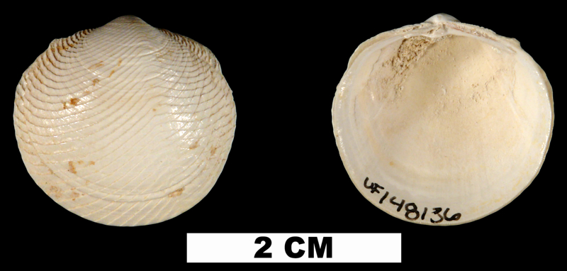 <i>Divalinga quadrisulcata</i> from either the Late Pliocene Tamiami Fm. (Pinecrest Beds) or Early Pleistocene Caloosahatchee Fm. of Highlands Count, Florida (UF 148136).