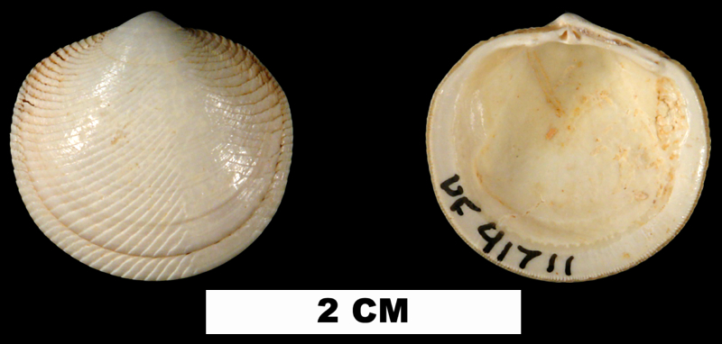 <i>Divaricella chipolana</i> from the Early Miocene Chipola Fm. of Calhoun County, Florida (UF 41711).