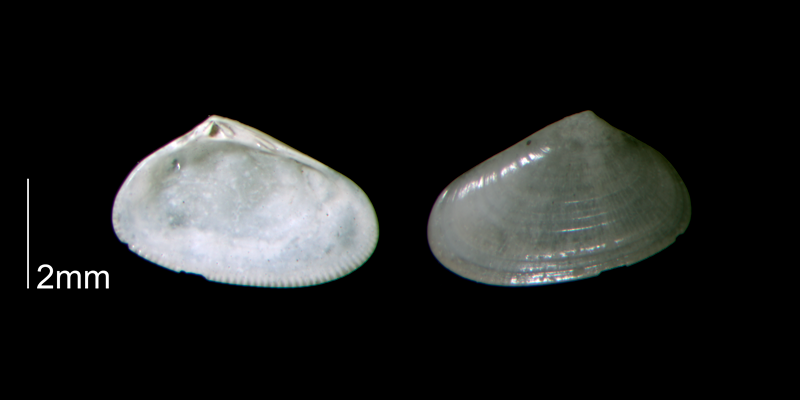 <i>Donax fossor</i> from the Early Pleistocene Waccamaw Fm. of Brunswick County, North Carolina (PRI 70437).