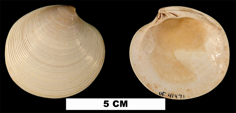 <i>Dosinia chipolana</i> from the Early Miocene Chipola Fm. of Calhoun County, Florida (UF 41471).