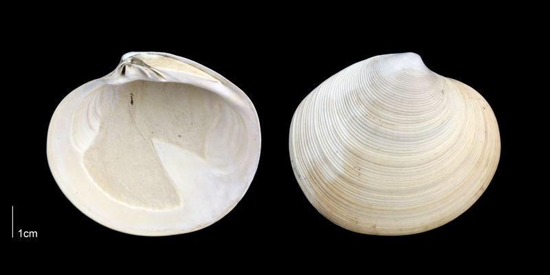 <i>Dosinia concentrica</i> from the Late Pliocene Tamiami Fm. (Pinecrest Beds) of Sarasota County, Florida (PRI 70069).