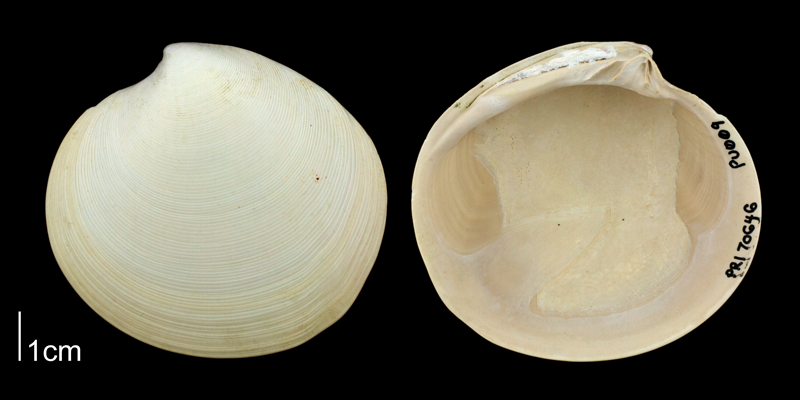 <i>Dosinia concentrica</i> from the Plio-Pleistocene Nashua Formation of Putnam County, Florida (PRI 70646).