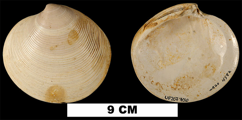 <i>Dosinia concentrica</i> from the Middle Pleistocene Canepatch Fm. of Horry County, South Carolina (UF 207706).