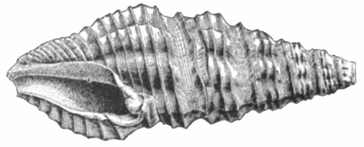 Specimen of <i>Drillia acucincta</i> figured by Dall (1890, pl. 2, fig. 11); 20.0 mm in length.
