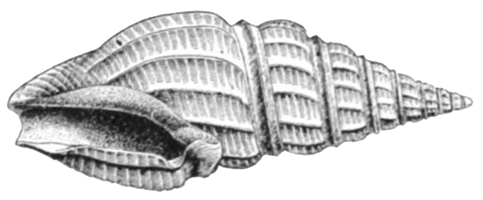 Specimen of <i>Drillia ebenina</i> figured by Dall (1889, pl. 2, fig. 8). Shell length 16.5 mm.