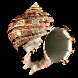 Ecphora bradleyae