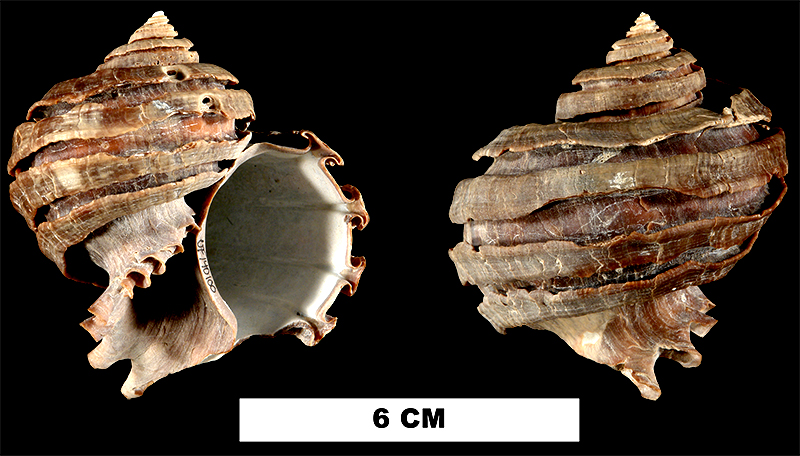 <i>Ecphora bradleyae</i> from the Late Pliocene Tamiami Fm. of Sarasota County, Florida (UF 140100).