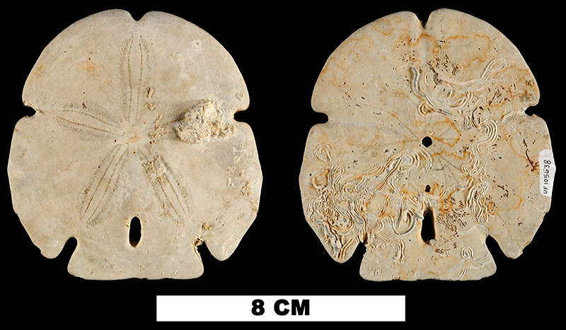 <i>Encope michelini</i> from either the Early Pleistocene Caloosahatchee Fm. or Middle Pleistocene Bermont Fm. of Okeechobee County, Florida (UF 105638).