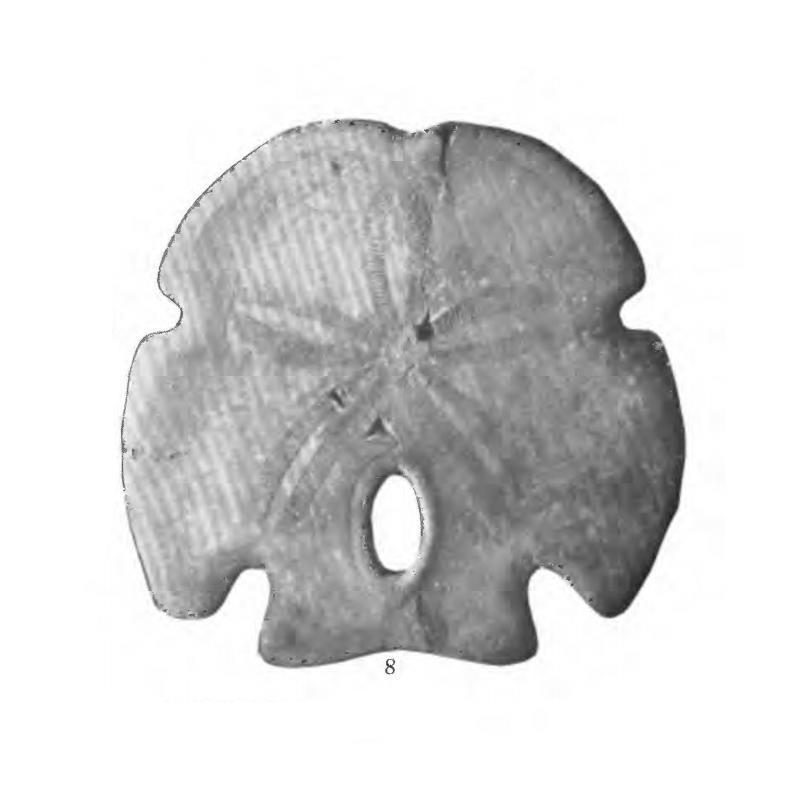 Specimen of <i>Encope tamiamiensis</i> figured by Mansfield (1932, pl. 17, fig. 8); 87 mm.