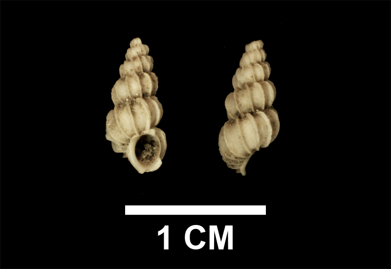 <i>Epitonium fractum</i> from the upper Pliocene Yorktown Formation of Suffolk County, Virginia (SDSM 136166).
