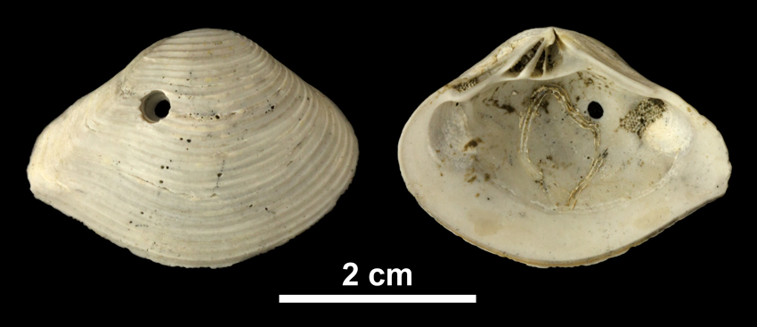 <i>Eucrassatella kauffmani</i> from the Early Pleistocene Waccamaw Fm. of Brunswick County, North Carolina (PRI 69977).