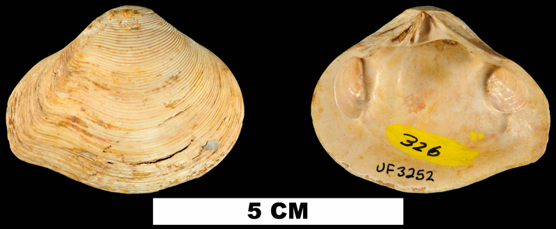 <i>Eucrassatella chipolana</i> from the Early Miocene Chipola Fm. of Calhoun County, Florida (UF 3252).