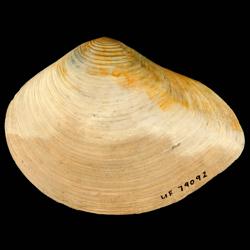 Eucrassatella meridionalis