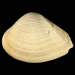 Eucrassatella speciosa