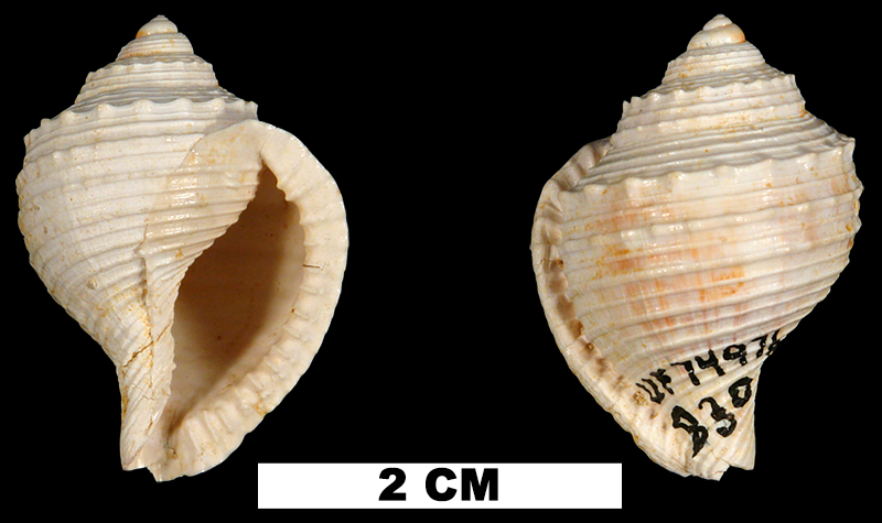 <i>Eudolium subfasciatum</i> from the Early Miocene Chipola Fm. of Calhoun County, Florida (UF 74976).