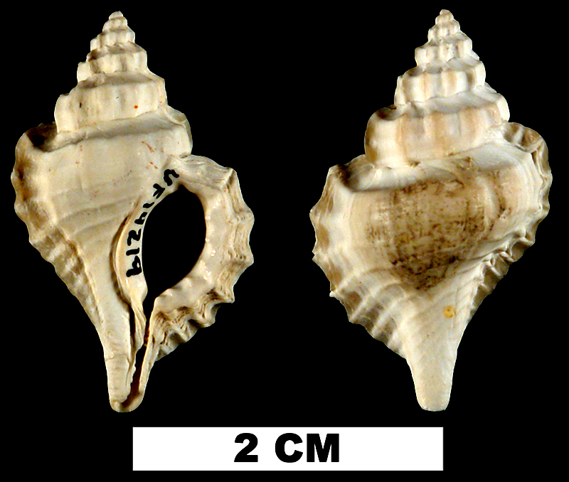 <i>Eupleura calusa</i> from the Early Pleistocene Caloosahatchee Fm. of Hendry County, Florida (UF 14219).