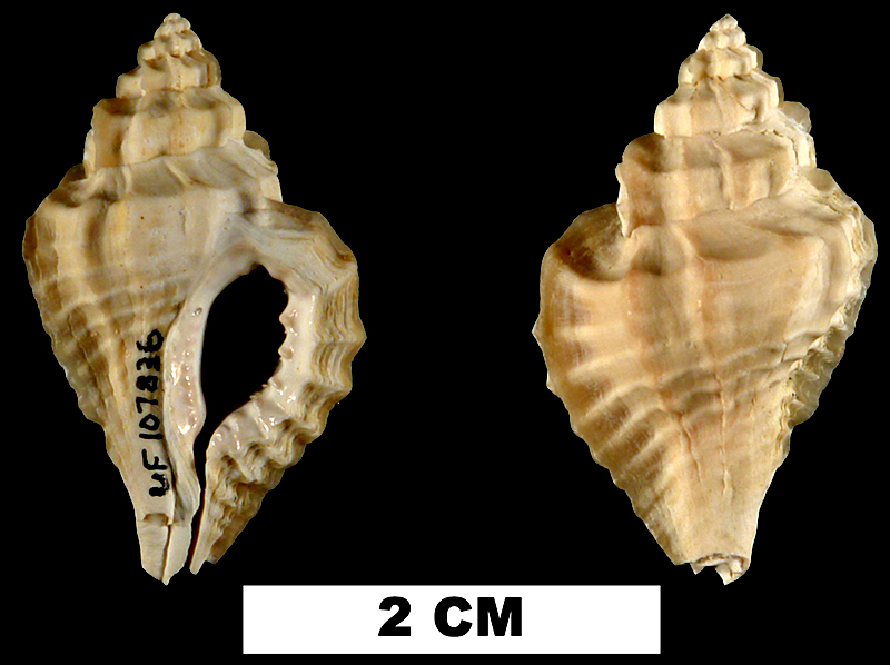 <i>Eupleura caudata</i> from the Early Pleistocene Caloosahatchee Fm. or Middle Pleistocene Bermont Fm. of Okeechobee County, Florida (UF 107836).