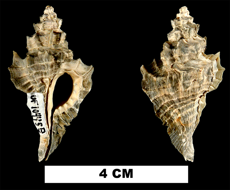 <i>Eupleura leonensis</i> from the Late Pliocene Tamiami Fm. (Pinecrest Beds) of Manatee County, Florida (UF 104458).