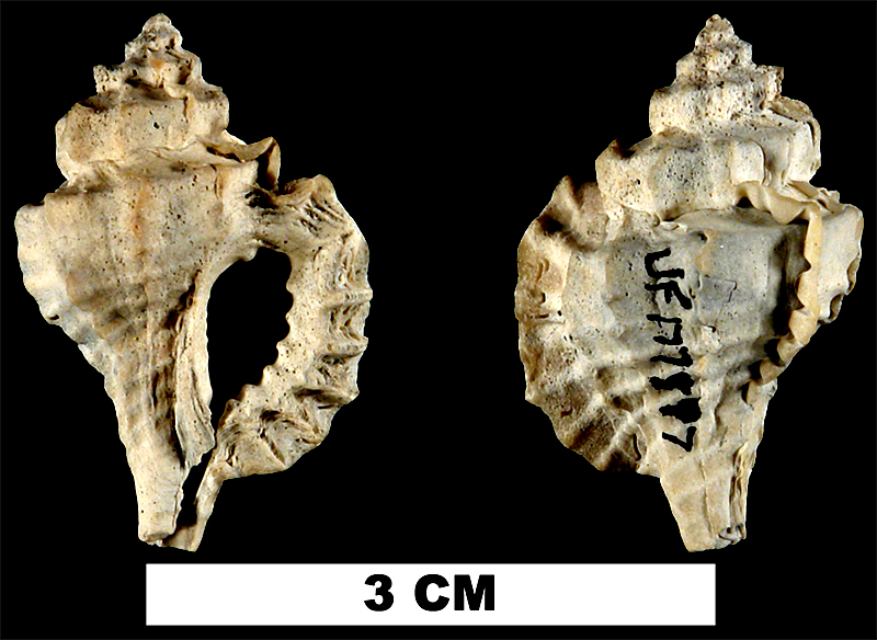 <i>Eupleura metae</i> from the Late Pliocene Tamiami Fm. (Pinecrest Beds) of Sarasota County, Florida (UF 177597).
