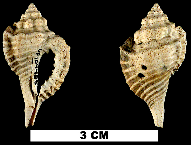 <i>Eupleura miocenica</i> from the Late Pliocene Tamiami Fm. (Pinecrest Beds) of Sarasota County, Florida (UF 104465).