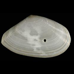 Eurytellina