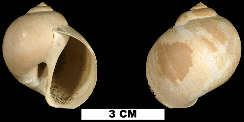 <i>Euspira sayana</i> from the Late Pliocene Raysor Fm. of Darlington County, South Carolina (UF 168591).