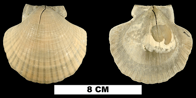 <i>Euvola hemicyclica</i> from the Late Pliocene Tamiami Fm. of Charlotte County, Florida (UF 47108).