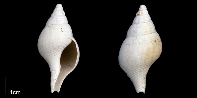 <i>Fasciolaria apicina</i> from the Late Pliocene Tamiami Fm. (Pinecrest Beds) of Sarasota County, Florida (PRI 70263).