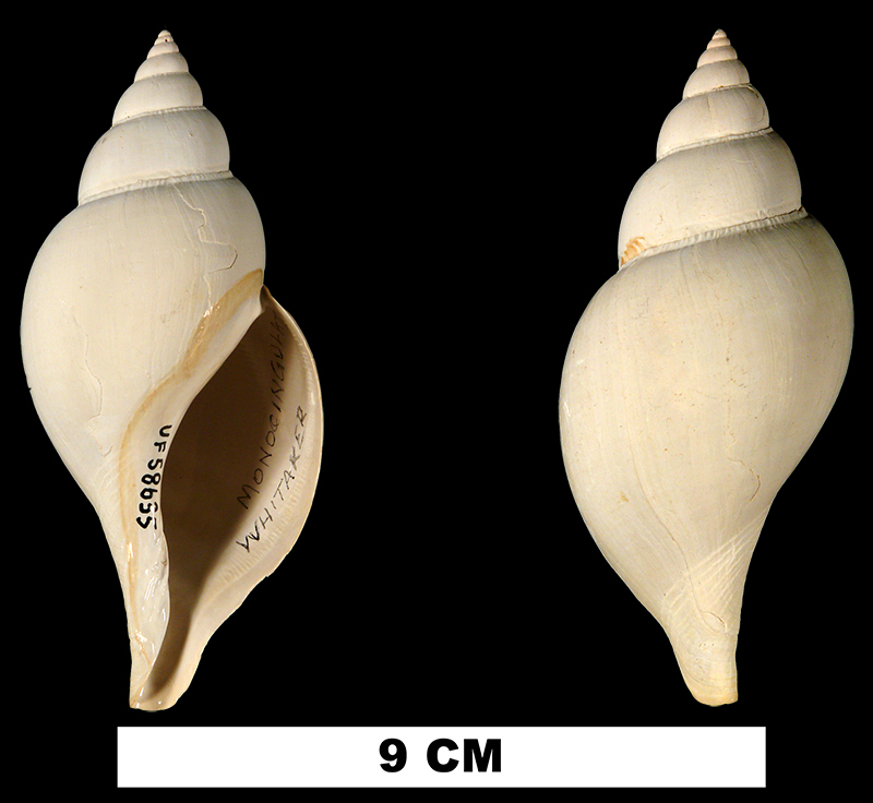 <i>Fasciolaria monocingulata</i> from the Early Pleistocene Caloosahatchee Fm. of Hendry County, Florida (UF 58635).