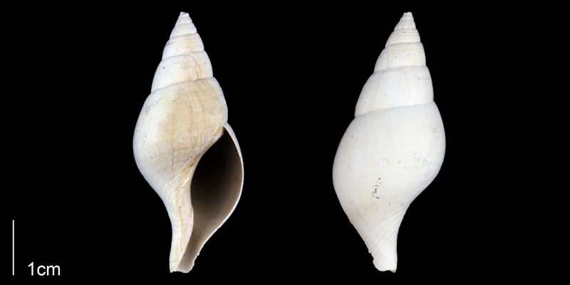 <i>Fasciolaria rhomboidea</i>from the Late Pliocene Tamiami Fm. (Pinecrest Beds) of Sarasota County, Florida (PRI 70129).