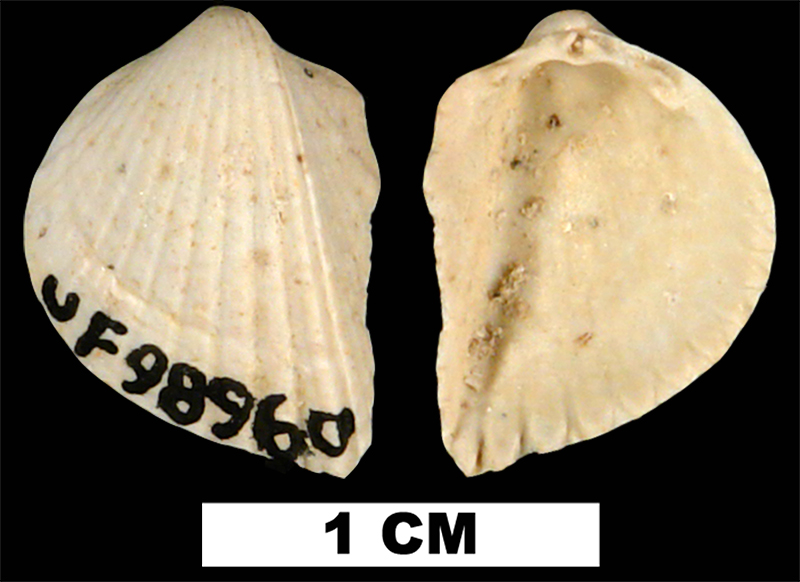 <i>Fragum tunicula</i> from the Early Miocene Chipola Fm. of Calhoun County, Florida (UF 98960).