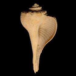 Fulguropsis