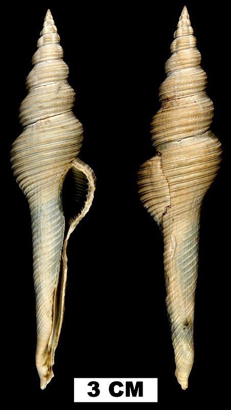 <i>Fusinus watermani</i> from the Middle Pleistocene Bermont Fm. of Palm Beach County, Florida (UF 195019).