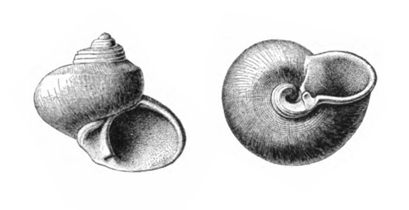Specimen of <i>Gelasinostoma elegantula</i> figured by Dall (1892, pl. 19, fig. 3 and 4); 4.25 and 4.5 mm in length, respectively.
