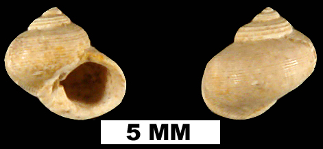 <i>Gelasinostoma elegantula</i> from the Late Pliocene Jackson Bluff Fm. of Leon County, Florida (UF 77843).