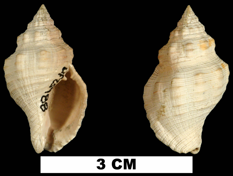 <i>Gemophos auritulus</i> from the Early Pleistocene Caloosahatchee Fm. of Hendry County, Florida (UF 25986).