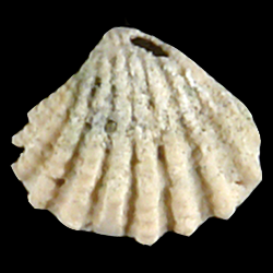 Glans dominguensis