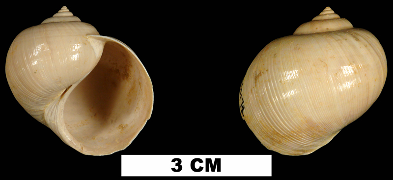 <i>Globularia fischeri</i> from the Early Miocene Chipola Fm. of Calhoun County, Florida (UF 140172).