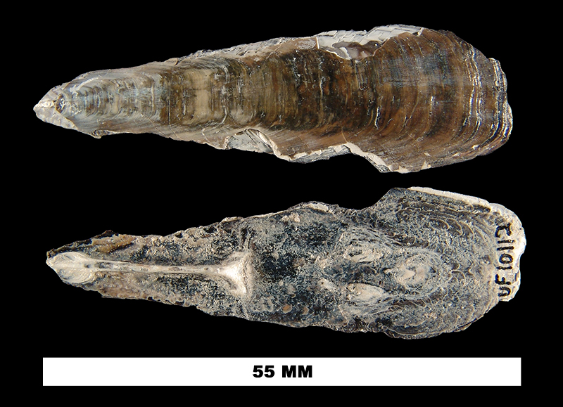 <i>Glottidia inexpectans</i> from the Early Pliocene Peace River Fm. (Bone Valley Member) of Polk County, Florida (UF 10112).