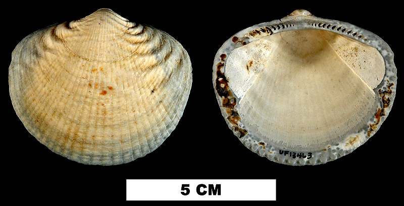 <i>Glycymeris aberrans</i> from the Late Pliocene Tamiami Fm. (Pinecrest Beds) of Miami-Dade County, Florida (UF 13463).