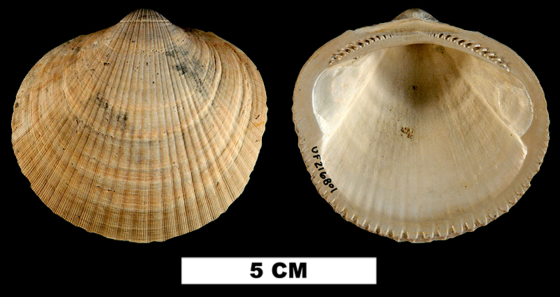 <i>Glycymeris americana</i> from the Early Pleistocene Nashua Fm. of St. Johns County, Florida (UF 216801).