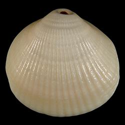 Glycymeris decussata