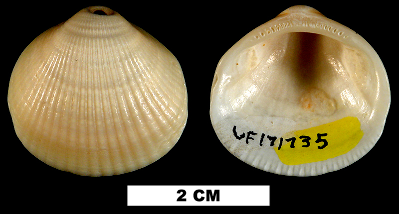<i>Glycymeris decussata</i> from the Late Pleistocene Anastasia Fm. of Brevard County, Florida (UF 171735).