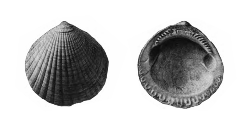 Specimen of <i>Glycymeris drymanos</i> figured by Gardner (1926, pl. 9, fig. 1 and 2); 38.2 and 38.5 mm in length, respectively.