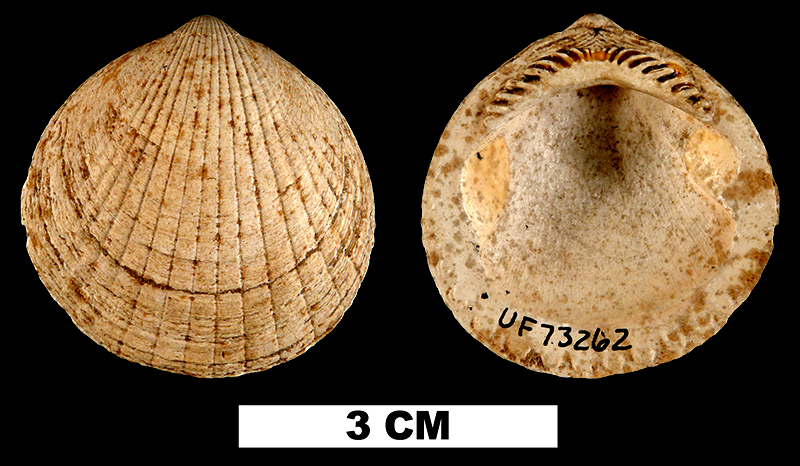 <i>Glycymeris drymanos</i> from the Early Miocene Oak Grove Sand of Okaloosa County, Florida (UF 73262).
